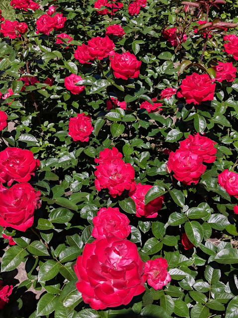 Tens of red roses in Montreal Botanical Gardens