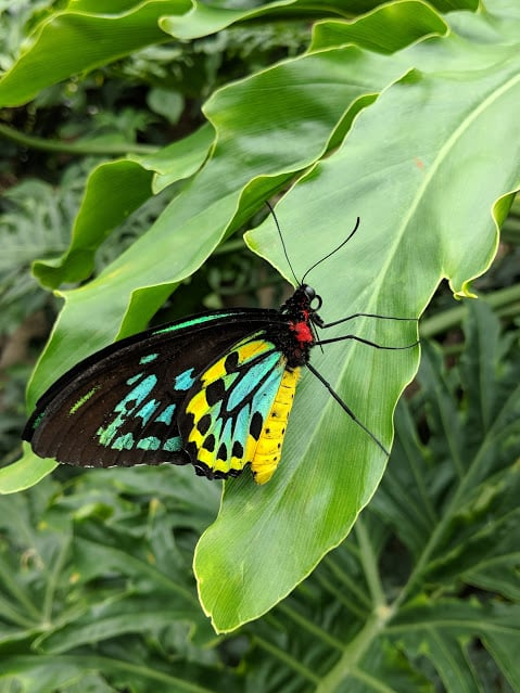 turquoise butterfly on green leaf from niagara butterfly conservatory