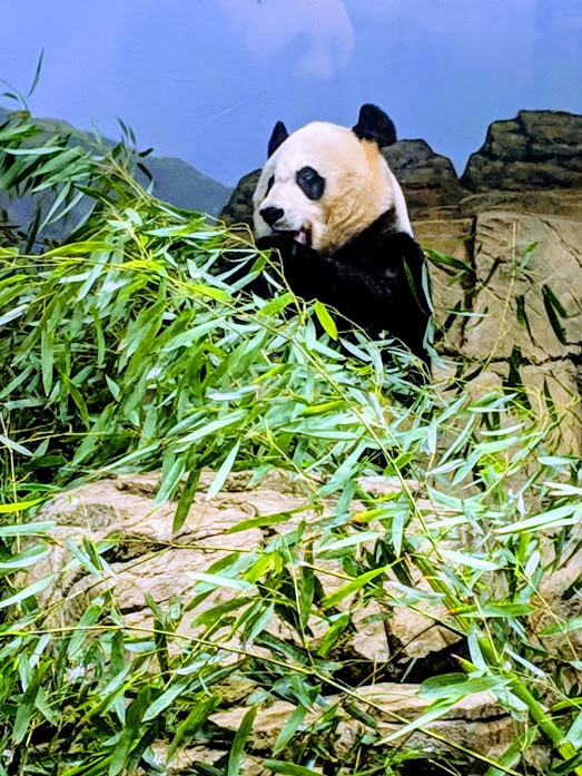 Panda in DC Zoo enclosure eating bambool