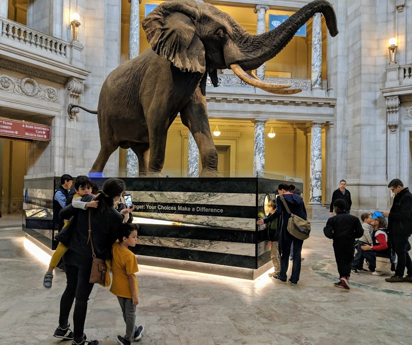 Elephant with giant tusks in center of National Museum of Natural History in Washington, D.C.