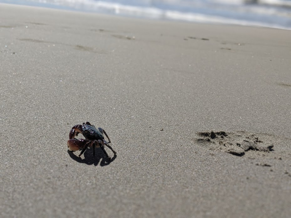 A single crab crawling on the sand at Avila Beach.